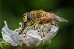 Eristalis tenax Hoverfly  (23)