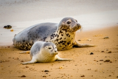 Grey Seal and Pup  (23)