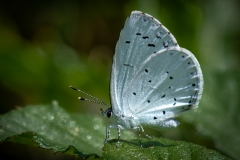 Holly Blue  (18)