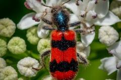Trichodes apiarius-Bee Beetle  (19)
